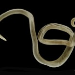 Ascaris lumbricoides – Common Round Worm